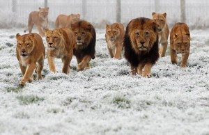 pride-of-lions-300x194